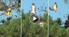 Esquilo Escapa Ao Ataque De Falcão Com Espetacular Salto