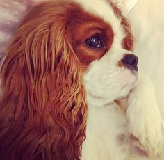 Cavalier King Charles ~ White pillow talk