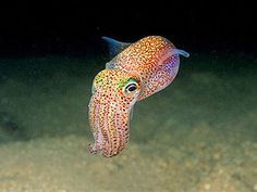 Forget Stubby Squids! Bobtail Squids are like an oceanic Lisa Frank fever dream wrapped up in tentacles!