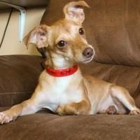 Pictures of Sandy a Chihuahua Mix for adoption in Colorado Springs, CO who needs a loving home.
