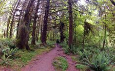 trails along the Hoh River