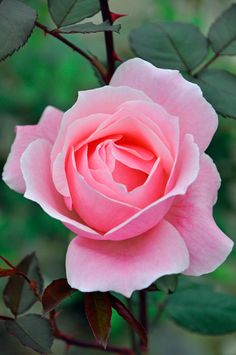 Queen Elizabeth, Hybrid Tea rose.