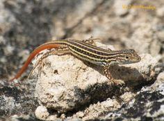Lagartija colirroja: Acanthodactylus erythrurus