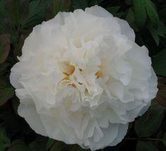 Koshino-yuki White Tree Peony - Paeonia suffruticosa - Kelways
