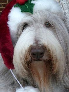 Tillman - Christmas Bearded Collie