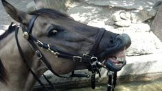 Mounted Police Horse smiling.