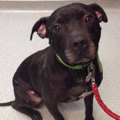 South Jersey Animal Rescue looking for funding to help pit bull with potential brain tumor