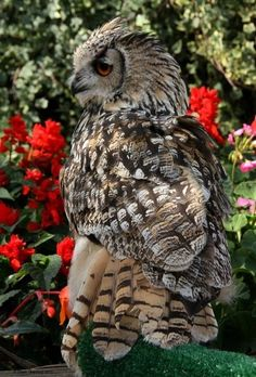 Rock Eagle Owl, found in South Asia Pinned from earth-song.tumblr.com