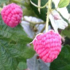It's Raspberry Season … Again