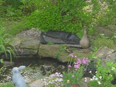 This wild mother duck and her ducklings stopped by to enjoy one of the 3 ponds we built for the local wildlife at Rabbit Path Habitat.