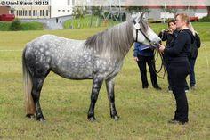 Nordland/Lyngen Horse - mare Fredheims Tutta Mini Horses, Show Jumping, Horse Breeds, Country Of Origin, Donkey, Dressage, Equestrian, Shades, Future