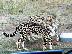 """""""This photo shows the genetic variation of the cheetah known as the King Cheetah. It has lines and irregular spots. It is such a rare genetic mutation that even if two known carriers of the gene breed mate, there is no guarantee there will be a King cheetah born."""" -Kimberly Cotter Baby Animals, Cute Animals, African Cats, Genetic Variation, Cat Species, Rare Cats, Cheater, Cheetahs, Domestic Cat"""