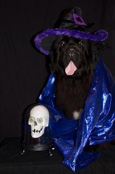 Notta Bear Newfoundlands Inka in her halloween dog costume soothsayer! Dog Photos, Dog Pictures, Funny Pictures, Cute Dog Halloween Costumes, Newfoundland Dogs, Giant Dogs, Animal Costumes, Fuzz, Dog Life