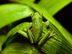 """Costa Rican Tree Frogs"""" by Brittany Murphy 