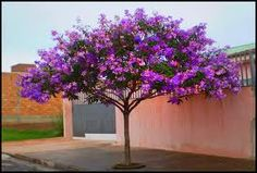 Tibouchina Alstonville Tropical Landscaping, Tropical Plants, Backyard Landscaping, Trees And Shrubs, Flowering Trees, Trees To Plant, Eco Garden, Bougainvillea Tree, Landscape Design