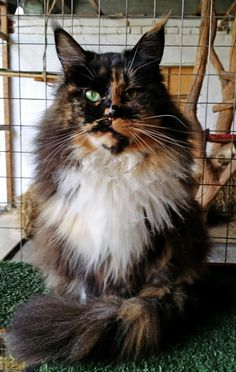 """Maine Coon girl """"Conikapaws Nanouch"""" Black Tortie White with green eyes"""