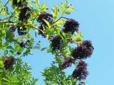 Die schwarzen Holunderbeeren enthalten sehr viel Vitamin C und können dem Körper als Saft, Sirup oder Marmelade zugeführt werden. Zutaten: 250 ml Wasser 125 ml Wildkräuterhonig ( 75 g Getrocknete H...