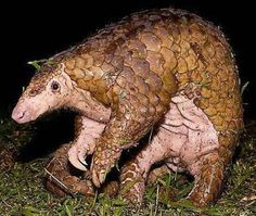 The Sunda pangolin, found in much of South-East Asia, is protected under Malaysian law. No international trade in any Asian pangolin species is permitted under the Convention on International Trade in Endangered Species of Wild Fauna and Flora (Cites). Despite this, pangolins are widely hunted and trafficked for their alleged medicinal properties. South-East Asia has a long history of consumption of pangolins.