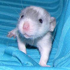 blue dumbo rat baby Awwwwww