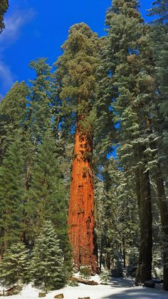 Giant sequoia trees in Sequoia National Park, an essential part of a West Coast National Park road trip.  Perfect for family travel!  2traveldads.com