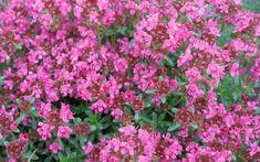 Thymus serpyllum 'Pink Chintz' - Pink Chintz Thyme