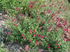 Salvia Greggii Raspberry under plum