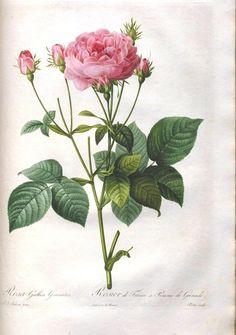 Botanical - Flower - Les Roses 41