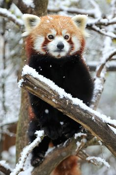 It's not widely known that Red Pandas were genetically engineered at the Institute of Cuteology in Japan.