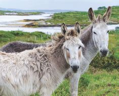 Donkeys hanging out in the countryside Connemara, Donkeys, Hanging Out, West Coast, Countryside, Ireland, Landscapes, Scene, Horses
