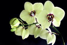"""Curiosidade sobre as Phalaenopsis: O gênero Phalaenopsis foi criado em 1825 por Karl Ludwig von Blume, ela foi batizada com esse nome a partir de duas palavras gregas """"phalaina"""" (falena, mariposa) e """"ópsis,-eos"""" (visão, ação de ver) . segundo Karl suas flores sparecem com as asas de mariposas. Na época ele fez o estudo o exemplar utilizado na pesquisa foi da espécie Phalaenopsis amabilis, descrita algum tempo antes (1741 e 1750) pelo botanista holandês Georg Ebehard Rumpf (ou Rumphius)."""