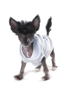 Chinese Crested Puppy by Petographer.co.uk, via Flickr