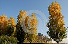 Photo made some poplars in the province of Padua in Veneto (Italy). In the image you see the poplars, with colorful leaves in autumn sopragiundere, illuminated by the sun of midday soaring into the blue sky. The trees are located close to the big park Villa Emo Capodilista Montecchia.