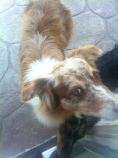 ID#1247720  I am a female Australian Shepherd.  My finder says I am over 1 year old. .  Someone found me on 5/11/2014. I was found at E Channel Islands Blvd.