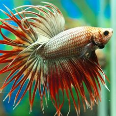Crowntail Betta Fish | Planet Fish- crowntail red gold ...
