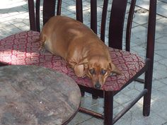 fat dachshund