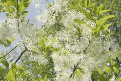 American Fringe Tree Chionanthus virginicus. Delicate and airy when in bloom, American Fringe Tree is a show stopper. Makes a beautiful small tree for the front yard.