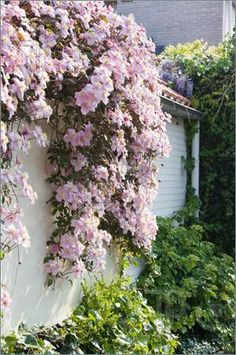 Flowers: White wall with pink flowering Clematis montana in spring - clematis montana – Fast Growing. Love to plant this on my balcony. Clematis Montana, Planting Flowers, Plants, Cottage Garden, Succulent Gardening, Outdoor Gardens, Dream Garden, Garden Inspiration, Garden Vines