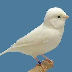 Cute Birds, Pretty Birds, Small Birds, Little Birds, Beautiful Butterflies, Beautiful Birds, Pet Rodents, Canary Birds, Birds And The Bees