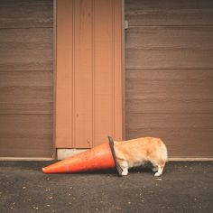 """""""There must be treats in here somewhere."""" - Corgi Conehead 