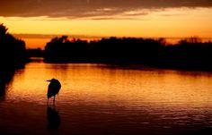 great-blue-heron-at-sunrise-_y5o4163-litttle-estero-lagoon-fort-myers-beach-fl.jpg (1200×770)