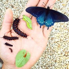 One Man Single-Handedly Repopulates Rare Butterfly Species In His Own Backyard -   The California pipevine swallowtail butterfly was once a species close to extinction. Now, thanks to CaliforniaAcademy of Sciences aquatic biologi...