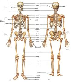 As we continue our medical terminology series, we begin to explore more specialized systems. The first of these is the skeletal system. Watch the various. Body Bones, Bones And Muscles, Body Organs Diagram, Skeleton System, Muscle Diagram, Medical Pictures, Yoga Anatomy, Muscular System, Human Anatomy And Physiology