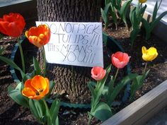 tulips_tree_pit_brooklyn_bulbs.jpg 800×600 pixels