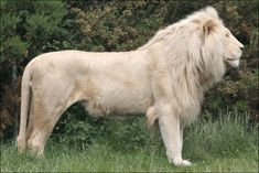 white lion picture | BBC - Hereford - In pictures: White lions up close