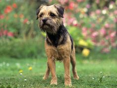 Chien Border Terrier