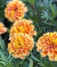 S//H See Our Store Janie Flame Marigold 25 SEEDS Beautiful Blooms COMB