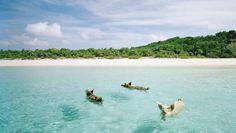 Swimming-Pigs- Oooohh, hoé schattig. Hagelwitte stranden en kraakhelder, azuurblauw water. Mét biggetjes! Op een droomeilandje van de Bahama's kun je er mee zwemmen.