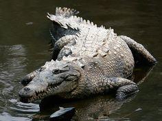 Les crocodiles du Nil peuvent s'abstenir de manger durant une année, attendant les oiseaux migrateurs pour retourner sur leur zone de chasse.  Étant incapables de mâcher, ils s'entraident afin de réduire les carcasses de leurs proies en petits morceaux, les rendant plus facilement comestibles pour eux.