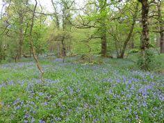 Bluebells in the National Trust estate of Hardcastle Crags, a short walk from Elmet Farmhouse holiday cottage above Hebden Bridge Hebden Bridge, Yorkshire Dales, National Trust, Walks, Countryside, Farmhouse, Cottage, Spring, Holiday