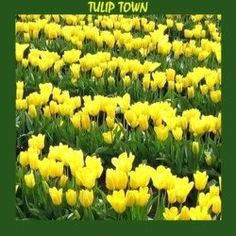 COLOR in a vast variety of shades and shapes is what will greet your eyes in Tulip Town at the time of the annual Tulip Festival. Delightful fragrance...